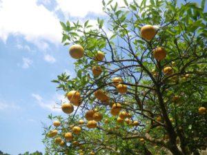 amanatsu_tree